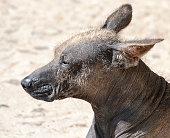 istock Peruvian Hairless Dog 477486238