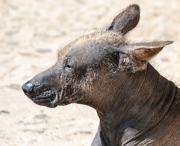 Peruvian Hairless Dog The Peruvian Hairless Dog is a breed of dog with its origins in Peruvian pre-Inca cultures. It is one of several breeds of hairless dog. Also called