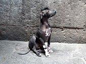 istock Peruvian Hairless Dog 485582630
