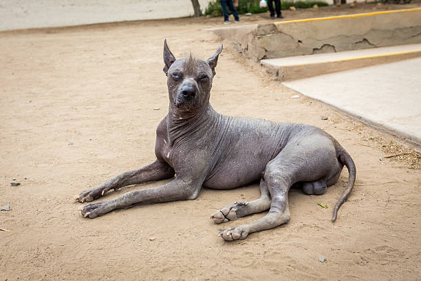 Peruvian Hairless dog stock photo