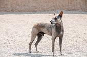 istock Peruvian Hairless Dog 496516722