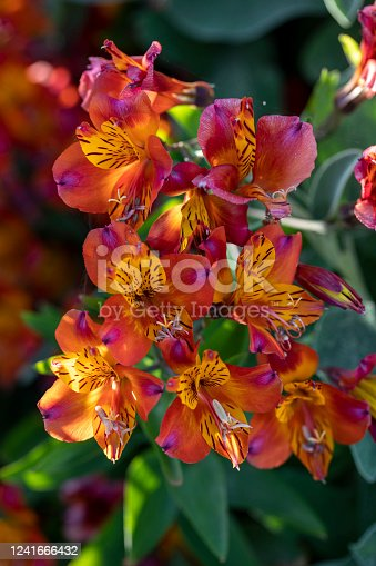 Peruvian lily, Alstroemeria cultivar, growing in greenhouse for cut flower trade. It is not a true lily.