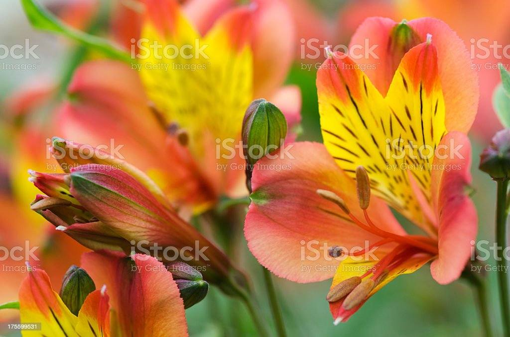 Peruvian lily, Alstroemeria cultivar, flowers stock photo