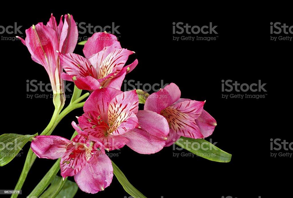 Peruvian Lily, Alstroemeria royalty-free stock photo