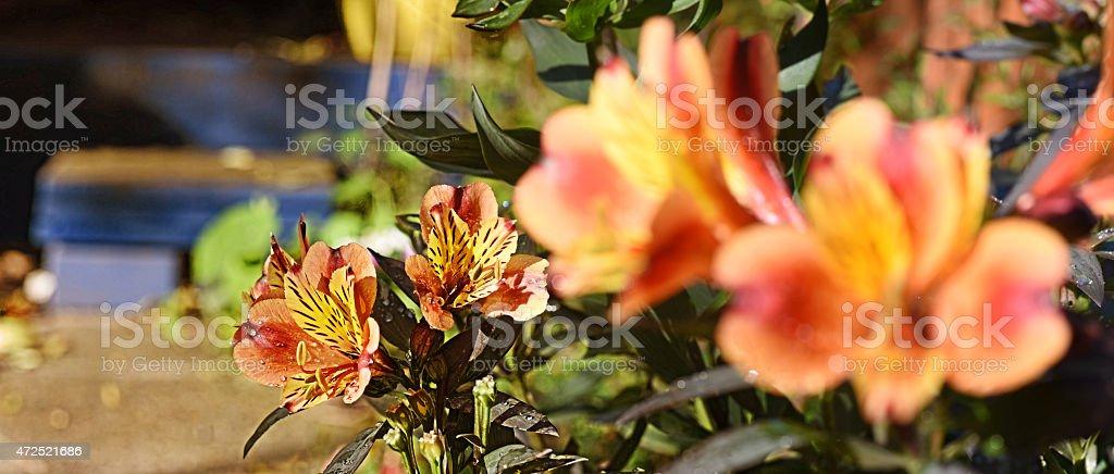 Peruvian Lily stock photo
