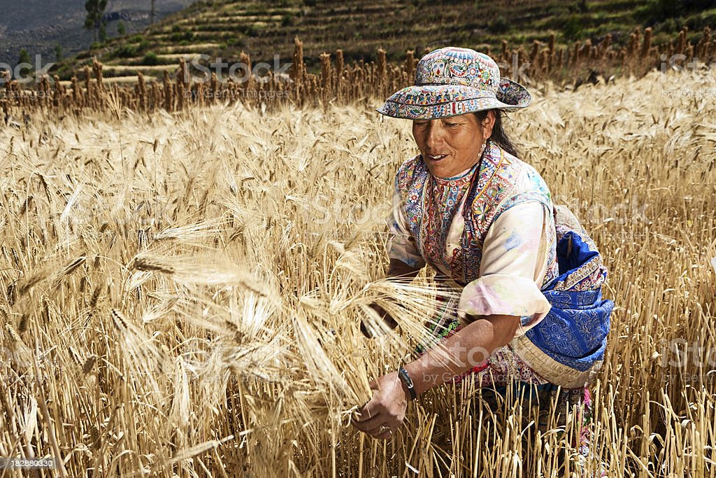 Peruvian woman in national clothing harvesting rye, Colca Canyon stock photo