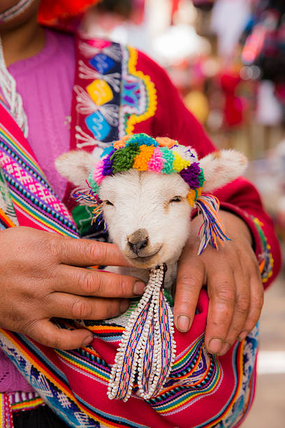 peruvian woman in traditional clothes holding a baby llama - voyages en amérique du sud photos et images de collection