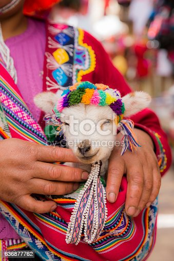 Peruvian Woman In Traditional Clothes Holding A Baby Llama Stock Photo Amp More Pictures