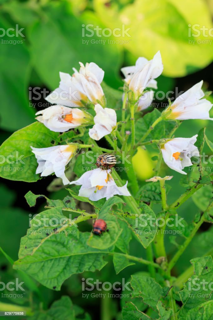 pest garden striped Colorado potato beetle sits on the flowering branches of plants potatoes stock photo