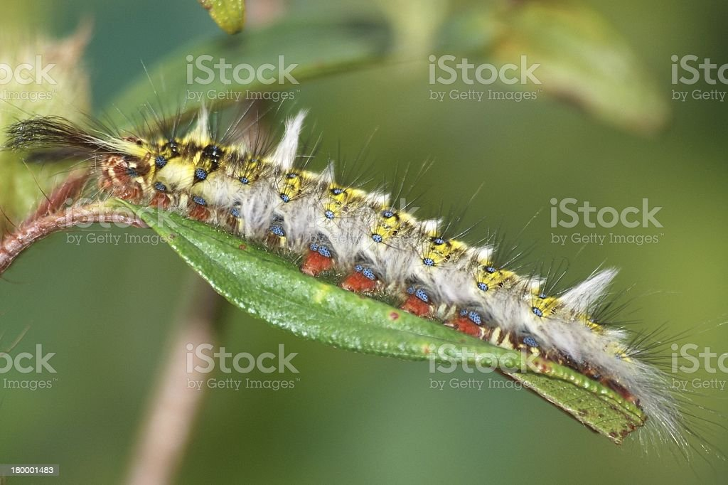 pest insect butterfly caterpillar bug royalty-free stock photo