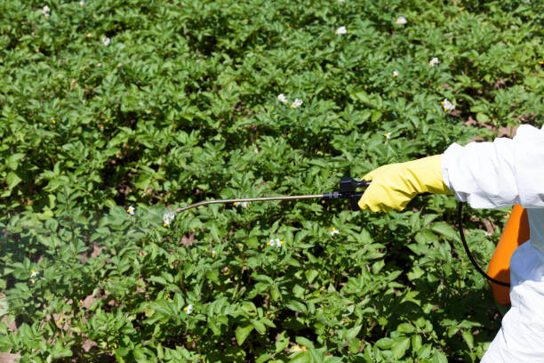 Pesticide spraying. Non-organic vegetables. Pollution. stock photo