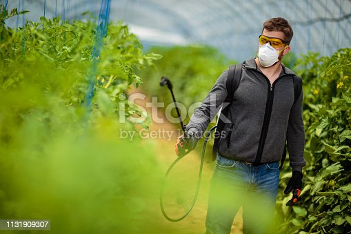 Pesticide spraying tomatoes in greenhouse.