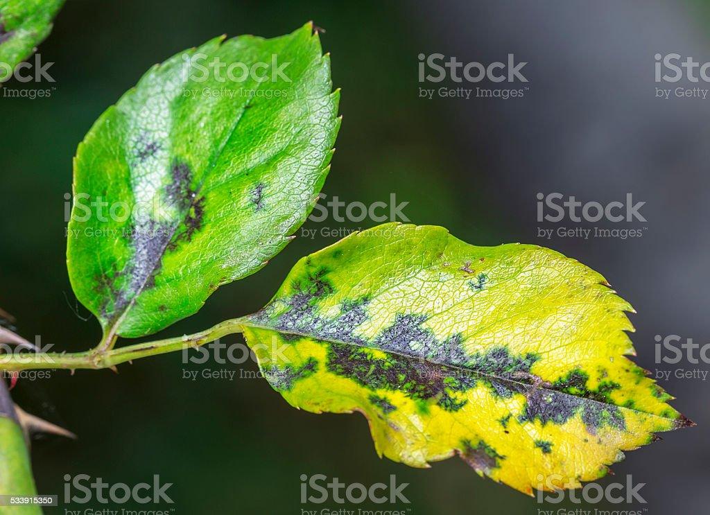 Pests, plants diseases. Leaf spots close-up. stock photo