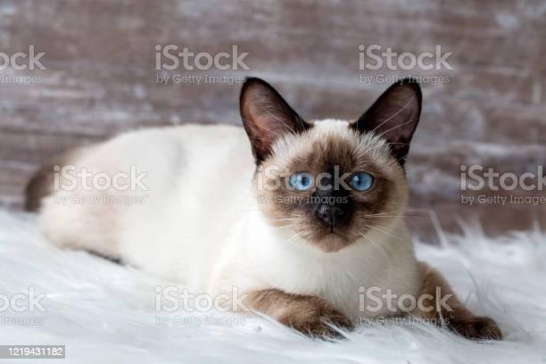 Pet animal cute siamese kitten picture id1219431182?b=1&k=6&m=1219431182&s=612x612&h=4rh6yj9zx3d1sii8o1vpel90miqqdhia1hmrgyimume=