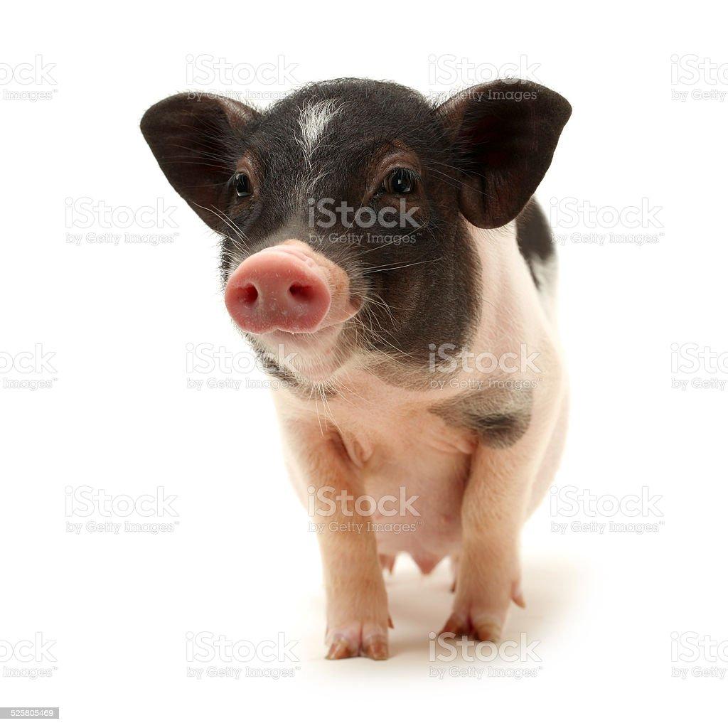 Pet baby pig stock photo