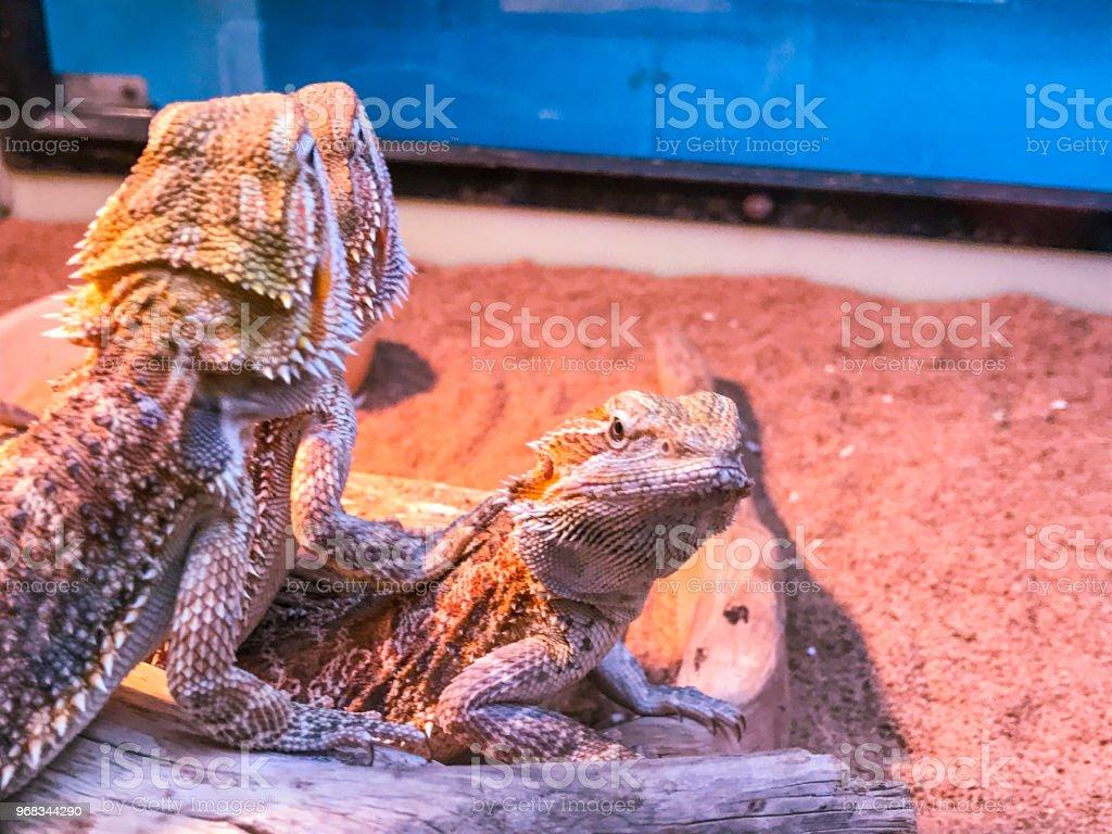 Pet Bearded Dragon Lizards Stock Photo - Download Image Now - iStock
