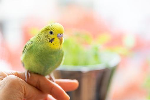 Pet bird sitting on owner's finger