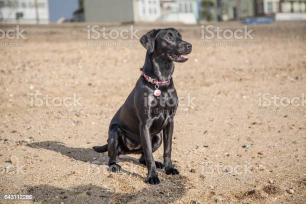 Pet black labrador puppy on the beach picture id643112286?b=1&k=6&m=643112286&s=612x612&h=i6nyatbkup7z 55j8scwkb7qm1tqrhub9j drsfy59y=