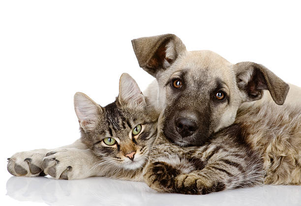 A pet cat and dog lying on top of each other stock photo