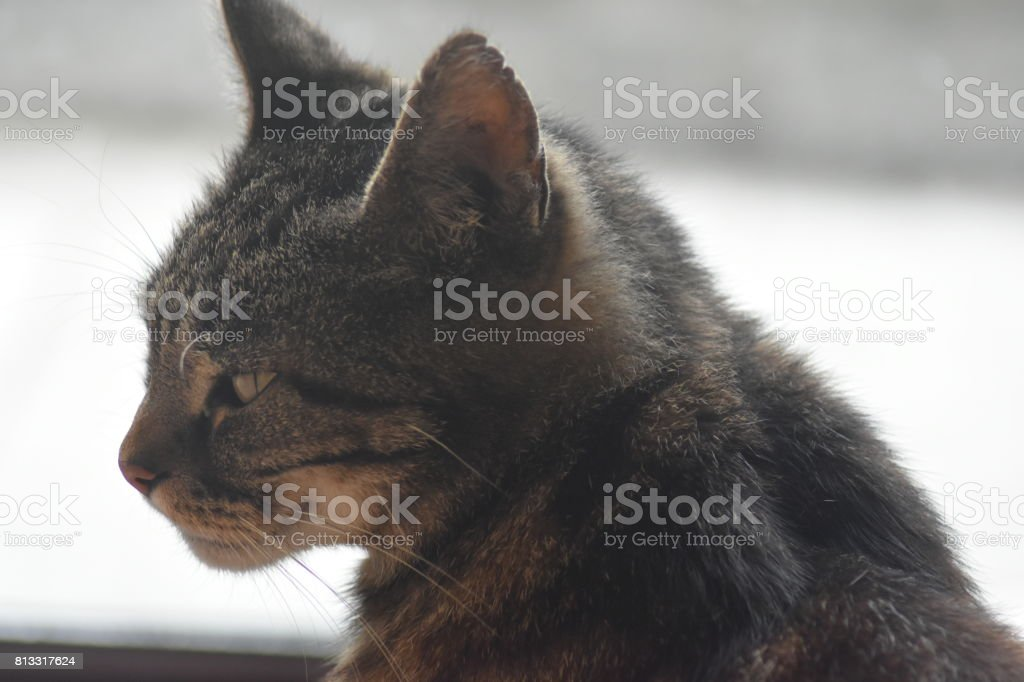 Pet Cat Close-Up stock photo