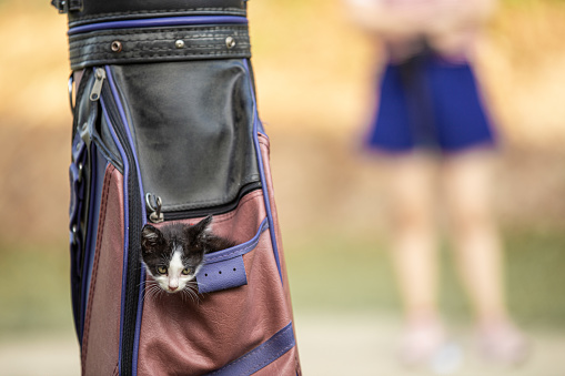 Pet cat in the golf bag while pet owner getting golf course。