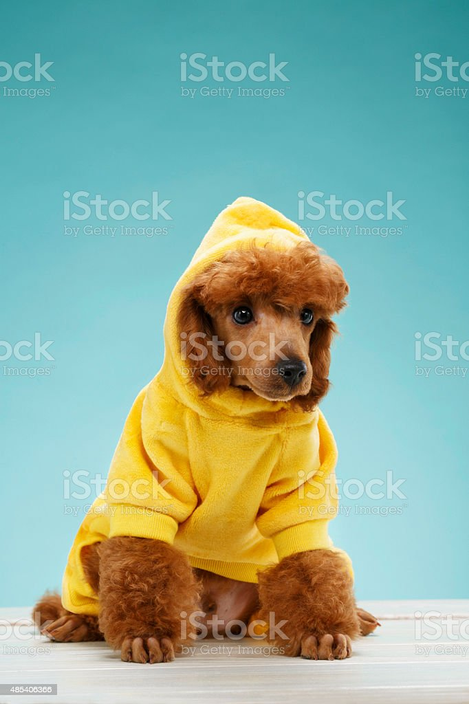 Pet clothing  Fashion for dogs  Beautiful miniature poodle puppy stock photo