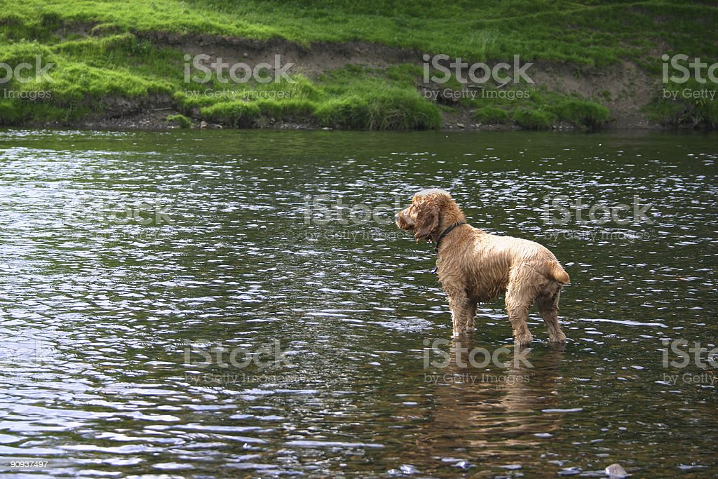 pet dog attempting to cross a river royalty-free stock photo