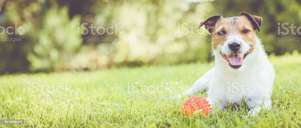 Pet dog lying on grass at sunny summer day (panoramic crop) stock photo