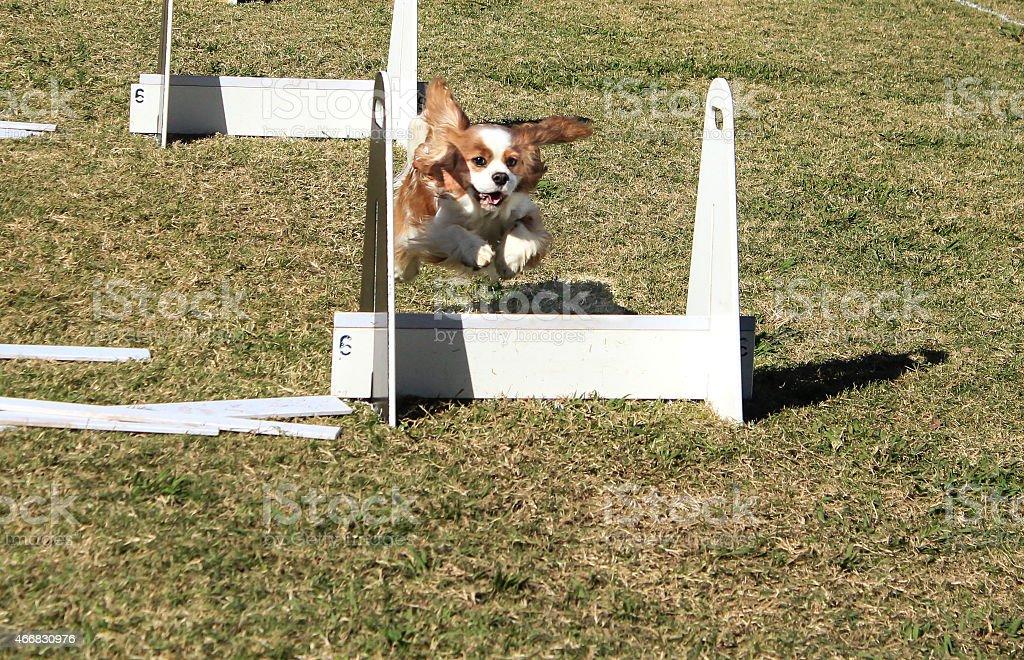 Pet dog racing over agility jump stock photo