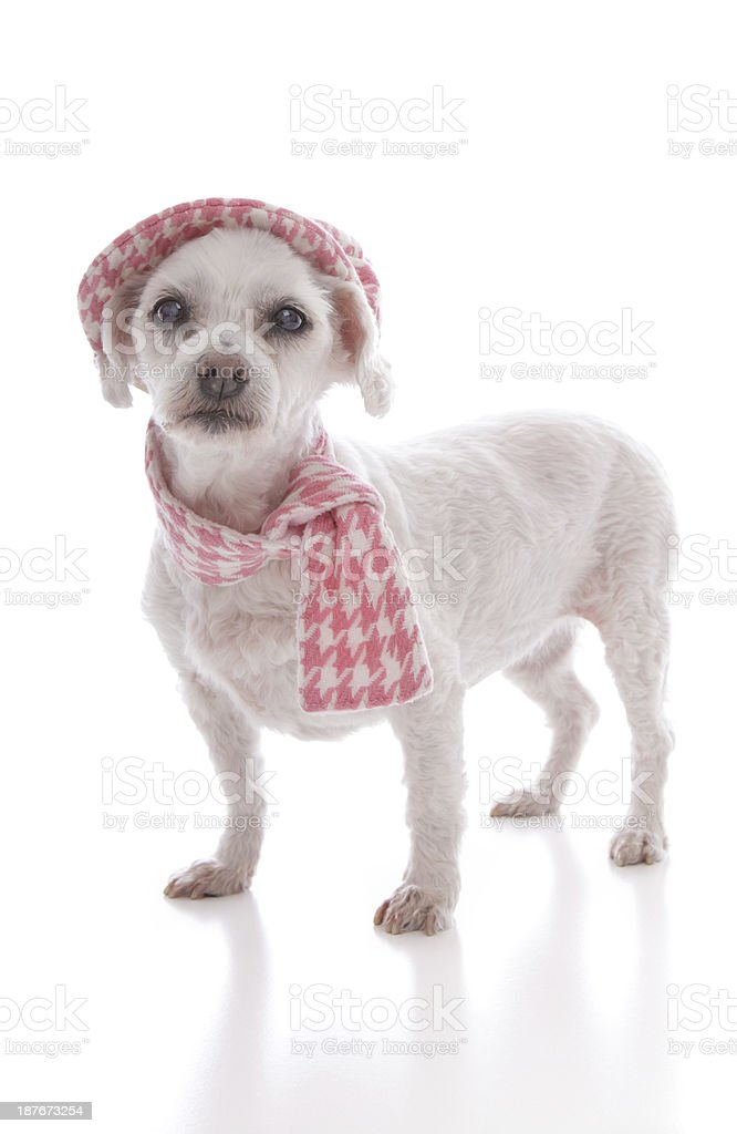 Pet dog wearing winter hat and scarf stock photo