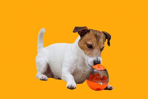 Jack Russell Terrier sniffs a yummy inside a toy