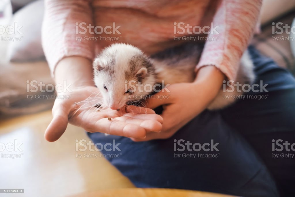 Pet ferret eating from the hand of its owner stock photo