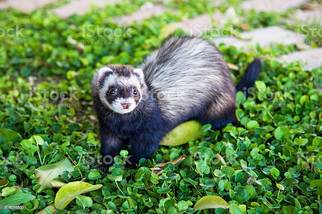 Pet Ferret Outside Looking Forward stock photo