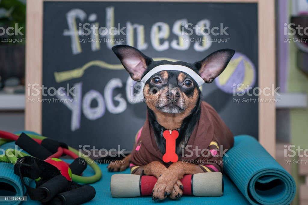 Pet Fitness , sport and lifestyle concept. Funny dog in sportswear...