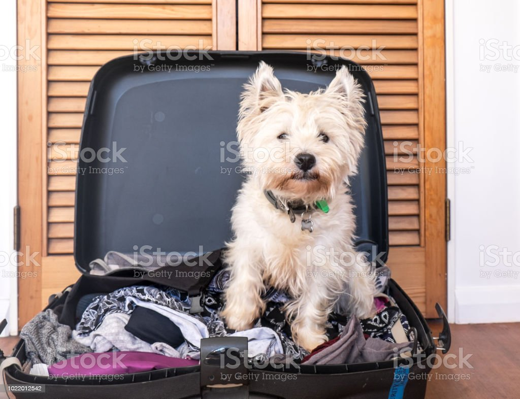 scruffy west highland white terrier westie dog in packed suitcase...