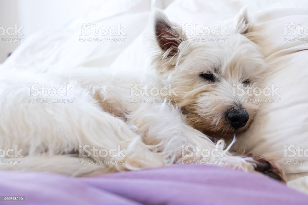 Pet friendly accommodation: west highland white terrier westie dog asleep on pillows and duvet stock photo