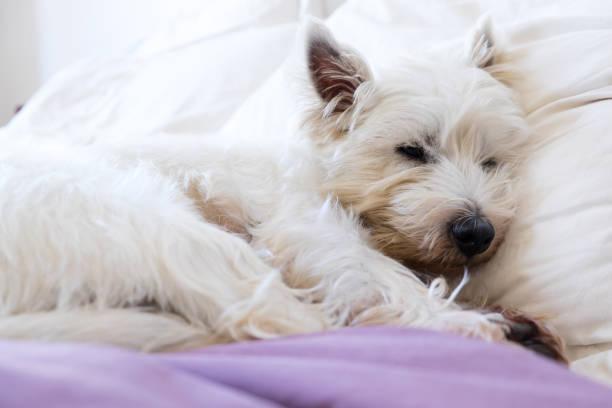 sällskapsdjur vänlig boende: west highland white terrier westie hund somna på kuddar och täcke - manchesterterrier bildbanksfoton och bilder