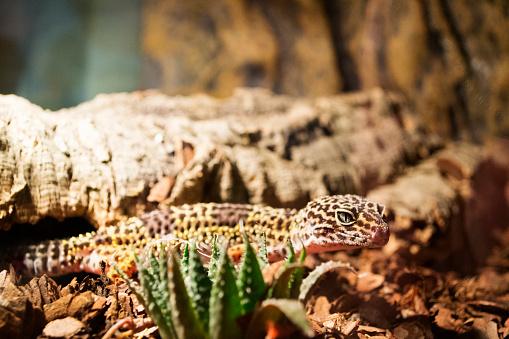 A large pet leopard gecko in a warm terrarium