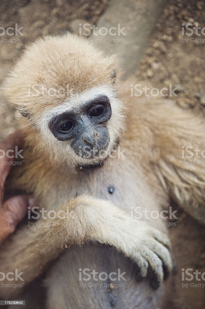 Pet Gibbon on Back. royalty-free stock photo