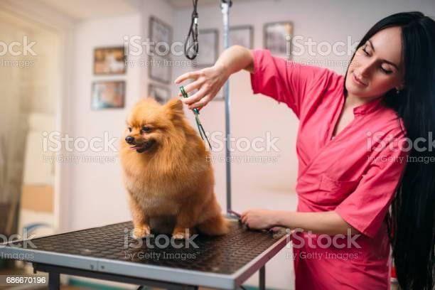 Pet groomer with scissors makes grooming dog picture id686670196?b=1&k=6&m=686670196&s=612x612&h=yyssgkzshxidfnnchlvrr lnyvzjrrjs5yz2fwehk58=