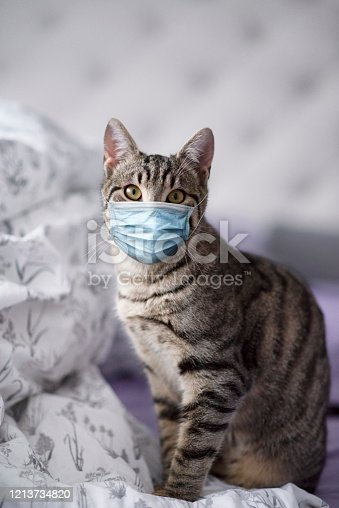 Domestic cat with medical mask protection from coronavirus.