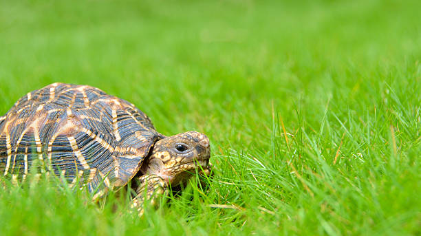 Pet Indian star tortoise roaming on a home lawn Pet Indian star tortoise roaming on a home lawn caenorhabditis elegans stock pictures, royalty-free photos & images