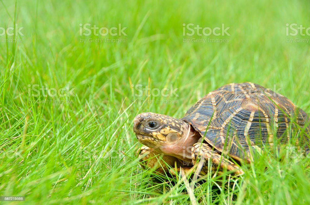 Pet Indian star tortoise roaming on a home lawn stock photo