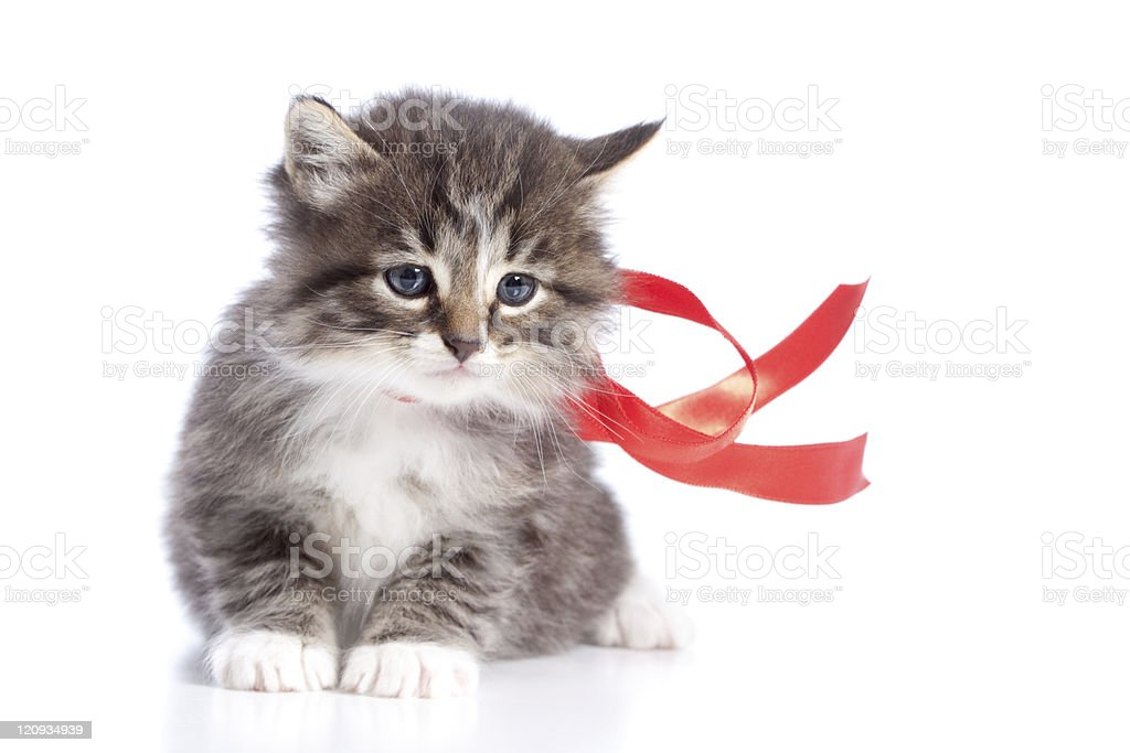 Pet Kitten with Red Ribbon Isolated on White Background stock photo