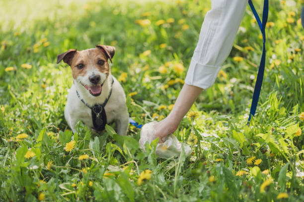 Pet owner picks up dog's poop cleaning up mess Female hand with plastic bag poop stock pictures, royalty-free photos & images