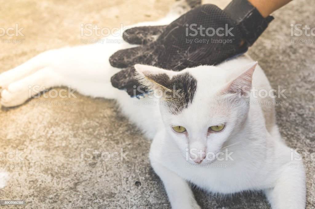 pet owner removing cat hairs with grooming glove , man han cleaning...