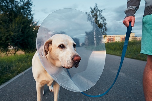 Pet owner with his old dog after surgery. Labrador retriever wearing medical protective collar on walk.