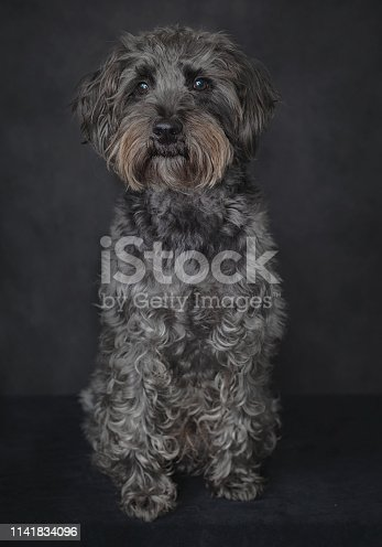 Studio photograph of terrier dog.  Pet photography.