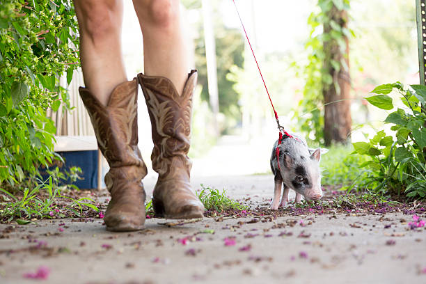 pet pig on leash walking with owner stock photo