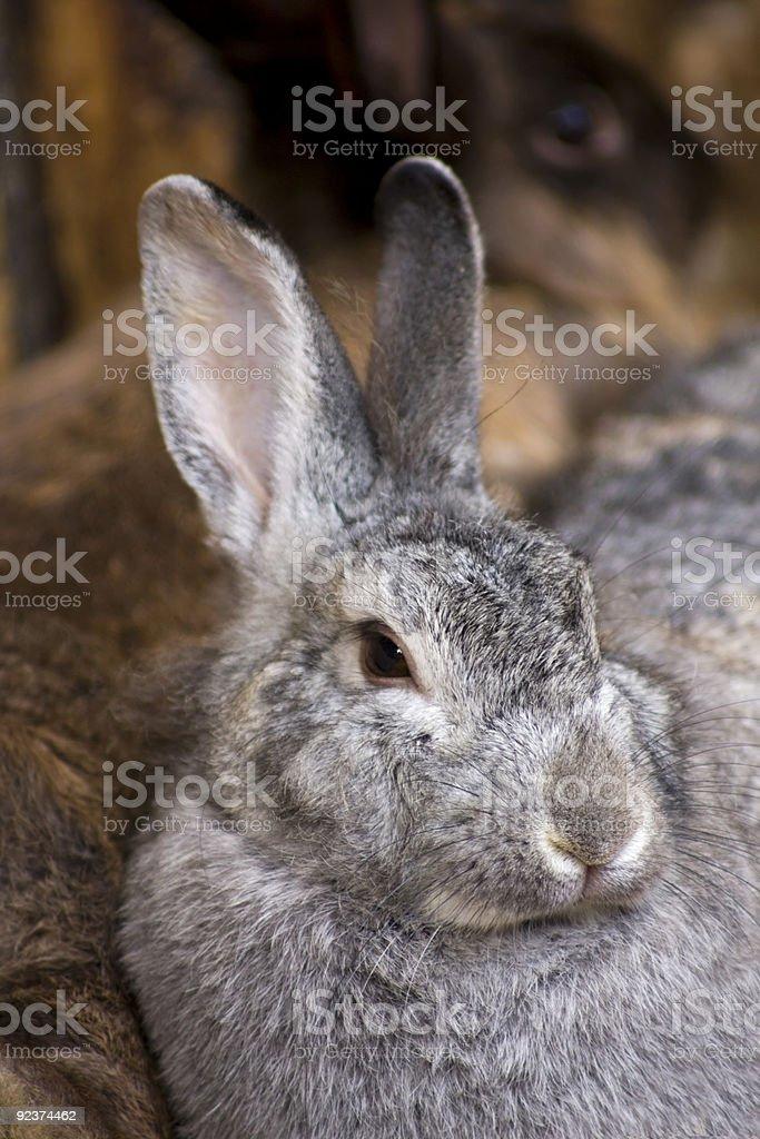 Pet Rabbits royalty-free stock photo